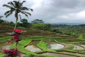 BALI rižina polja